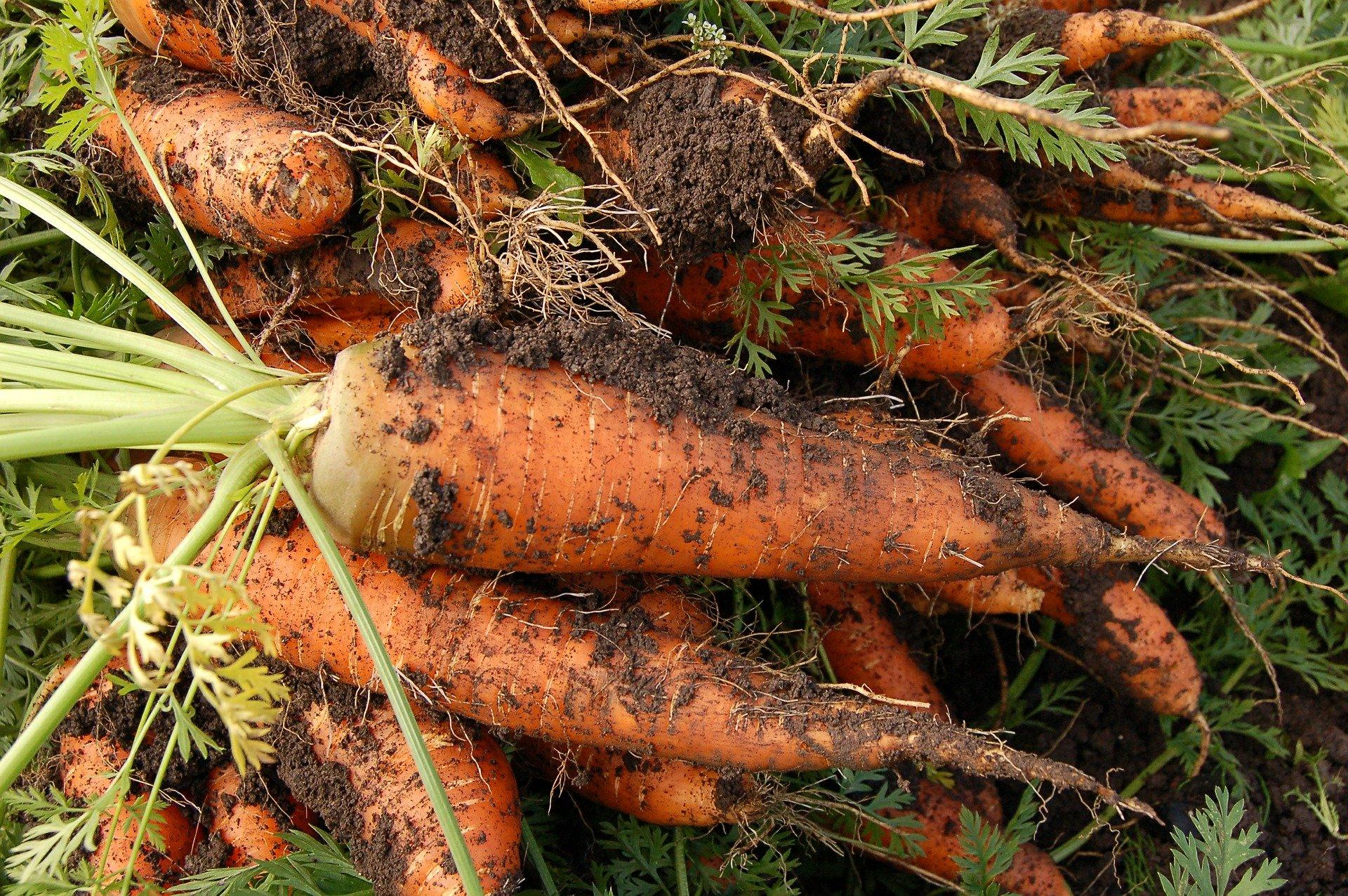 carottes bio Ferme de la Patte d'Oie ©Gîte Zou la Galinette